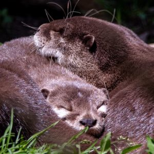 Two otters asleep all curled up together